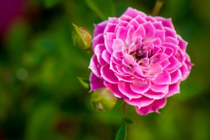 images of pink flowers