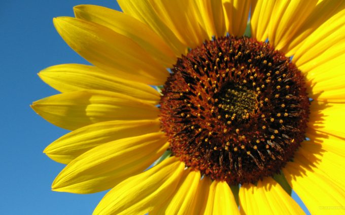 images of sunflower flowers