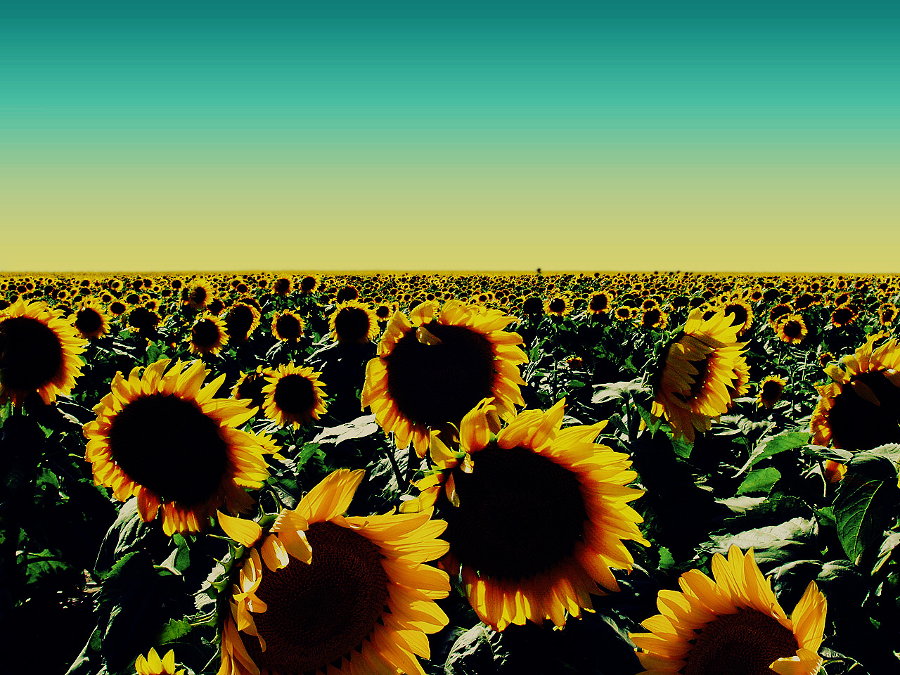 images of sunflower plants