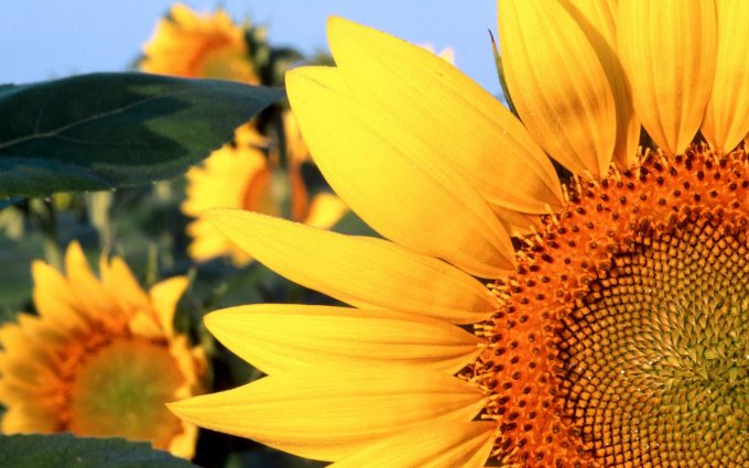 images of sunflowers