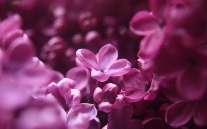 images pink flowers
