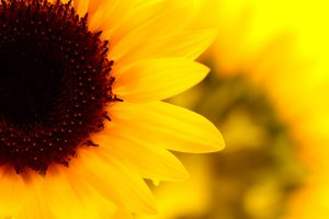 images sunflower