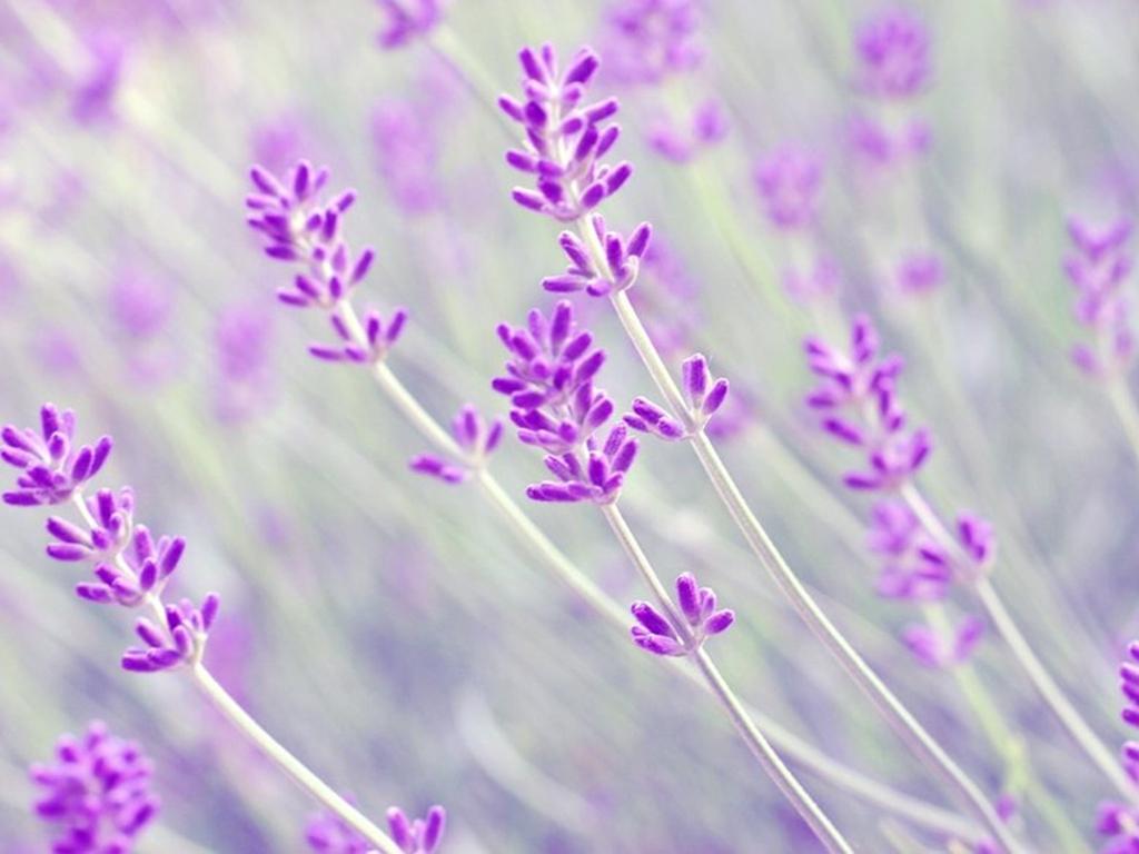 lavender a2
