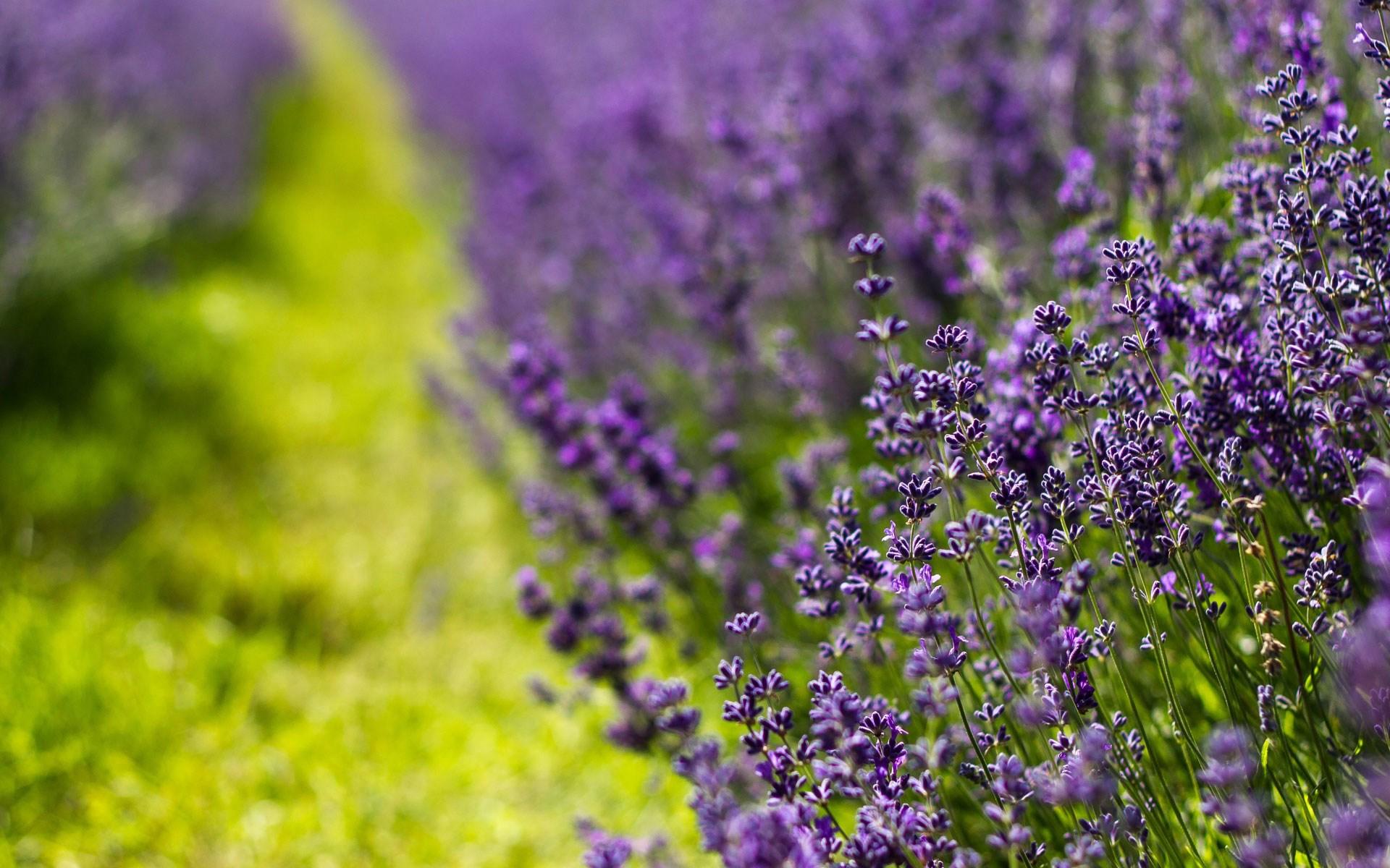 lavender colour wallpaper