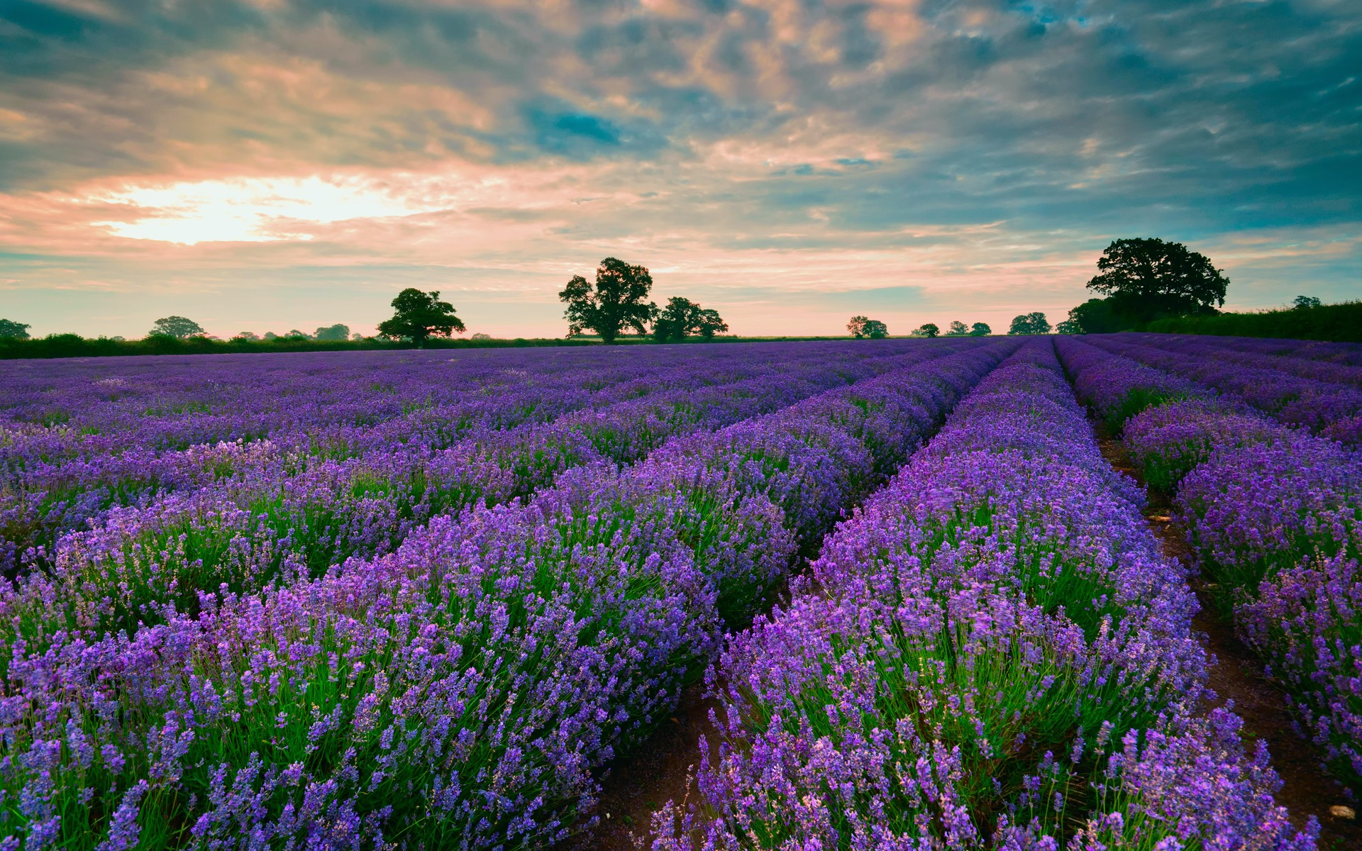 lavender field nature