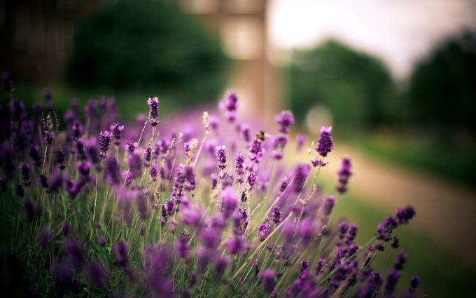 lavender fields wallpaper