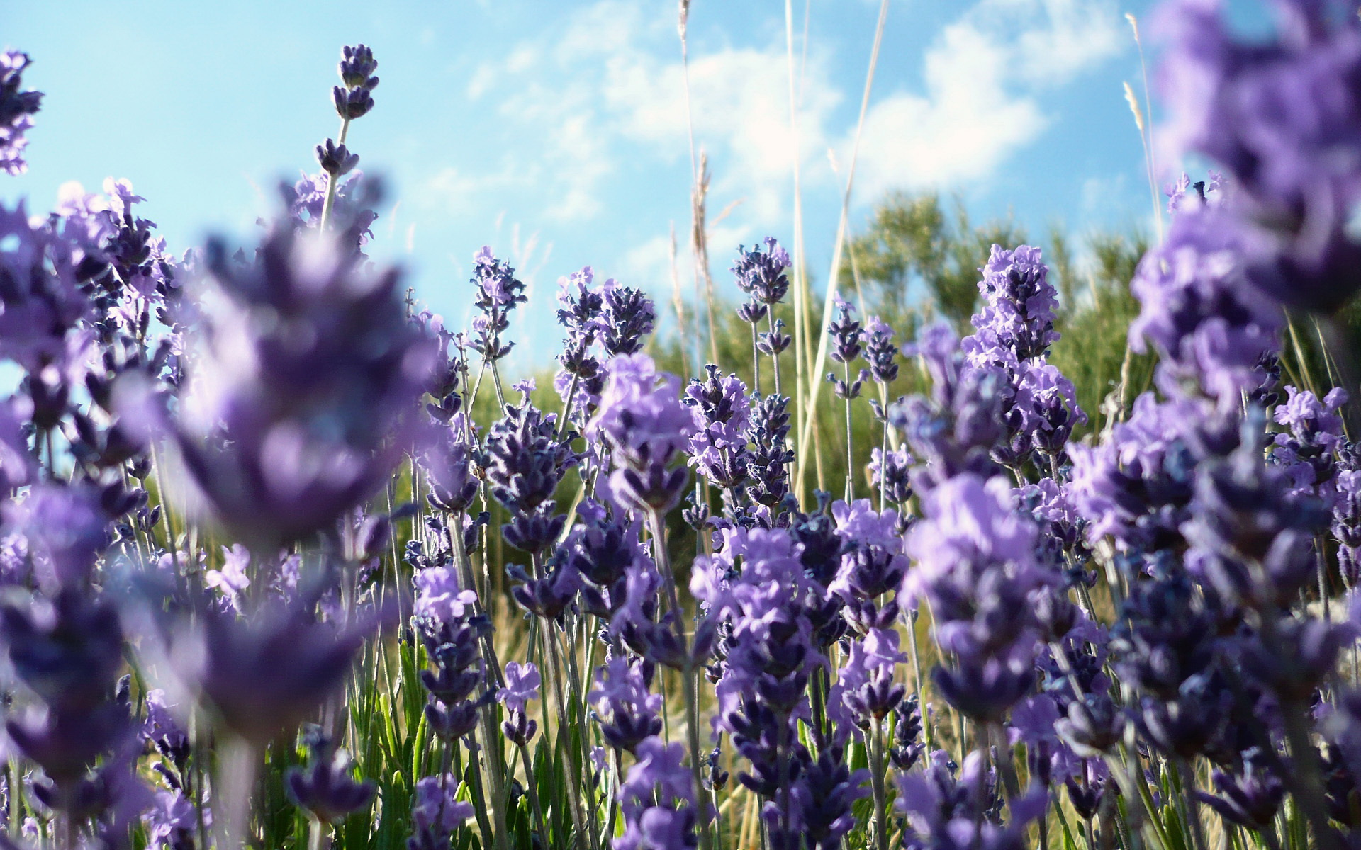 lavender flowers awesome