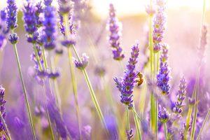 Bee enjoying fresh Lavender flowers