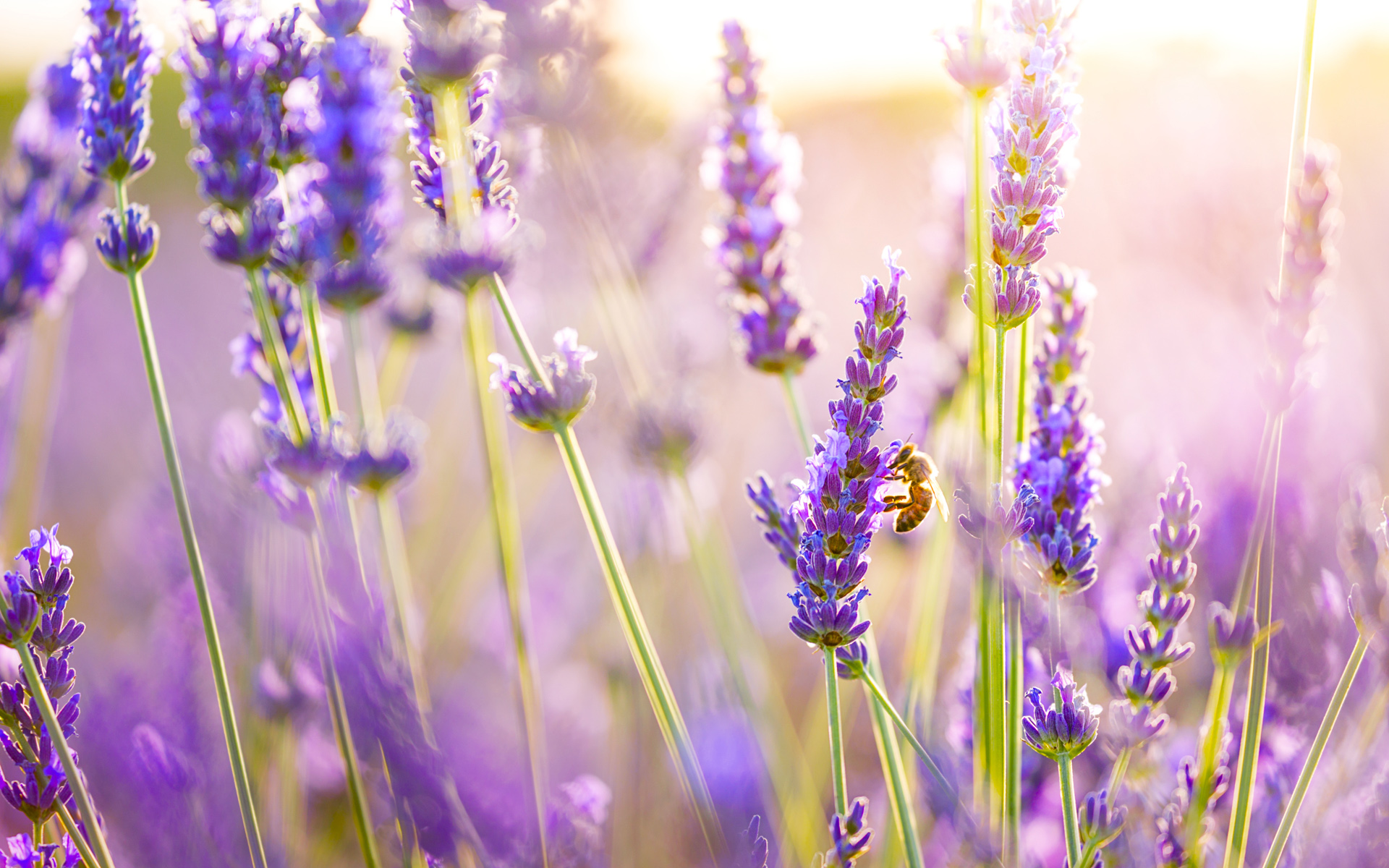 Bee enjoying fresh Lavender flowers