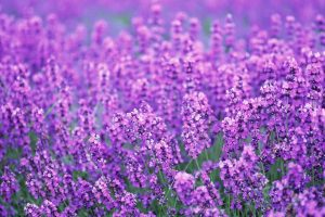 lavender flowers purple
