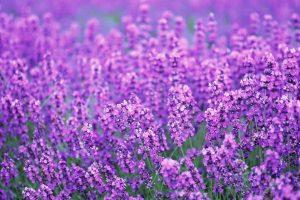 lavender flowers purple