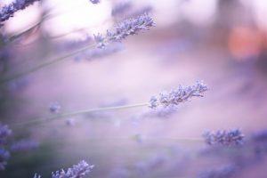lavender wallpaper hd
