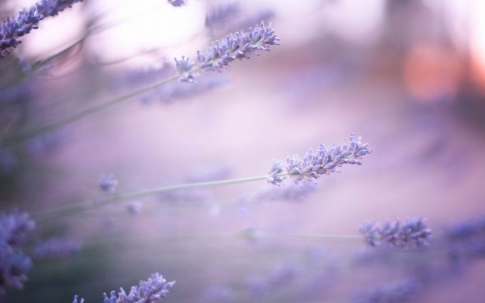lavender wallpaper hd