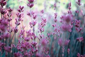 lavender wallpaper hd A1