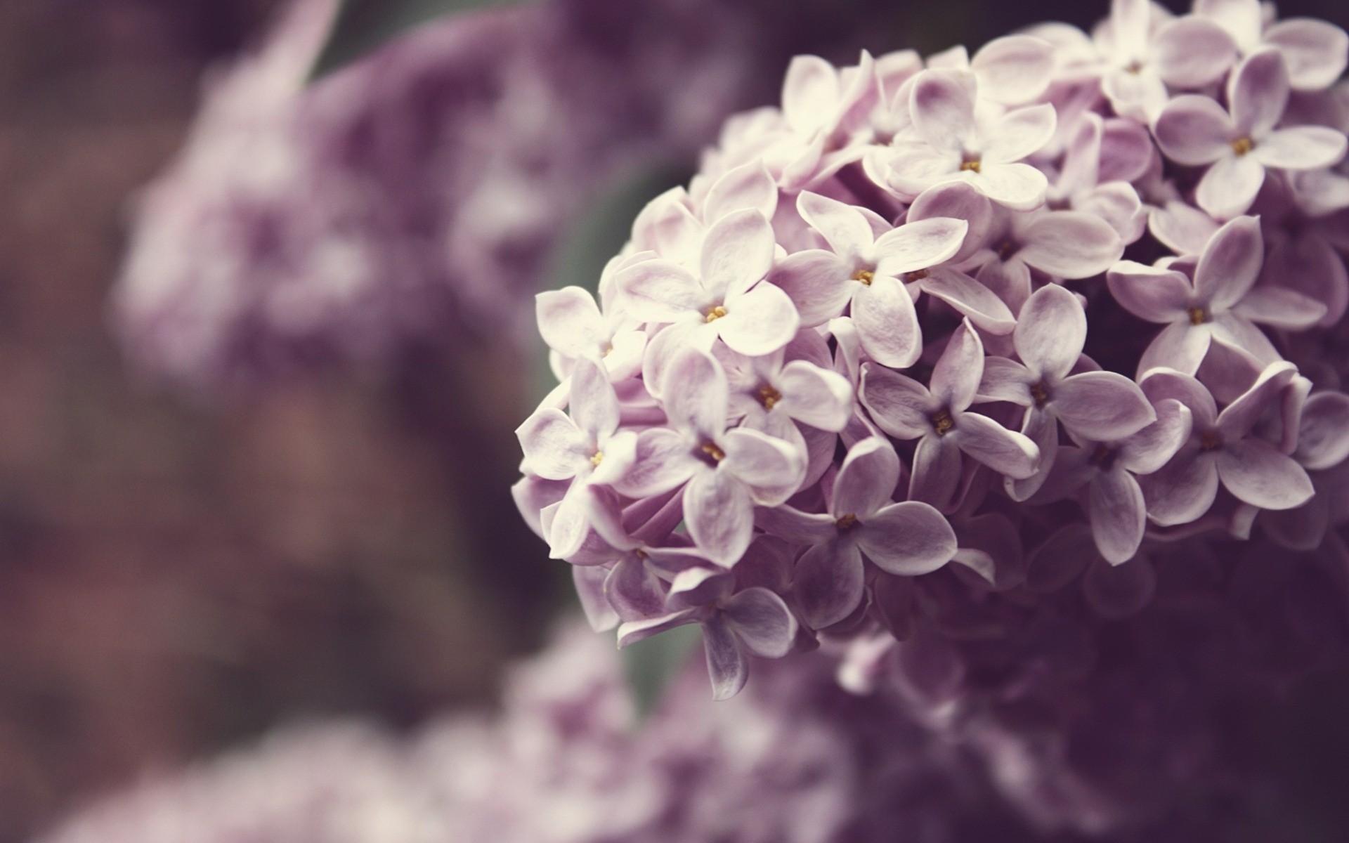 lilac A2