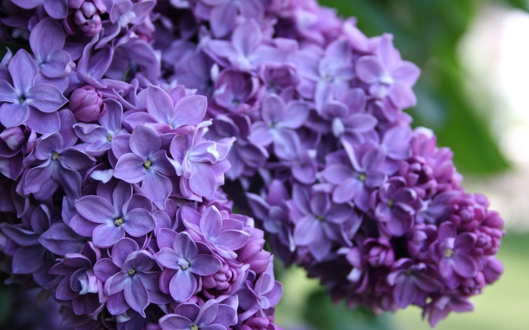 lilac blossom flower
