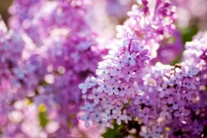 lilac flowers A10