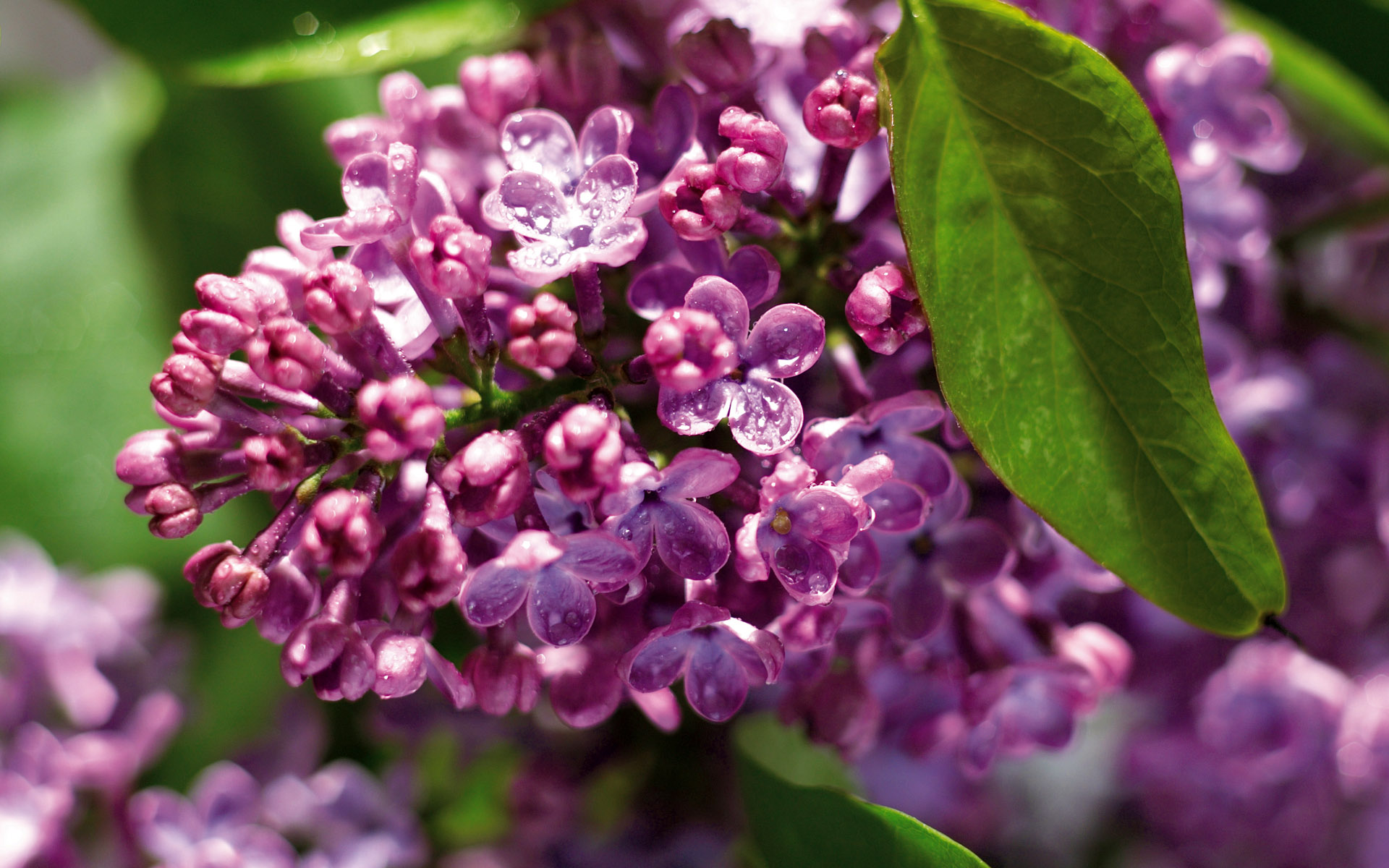 lilac flowers A2