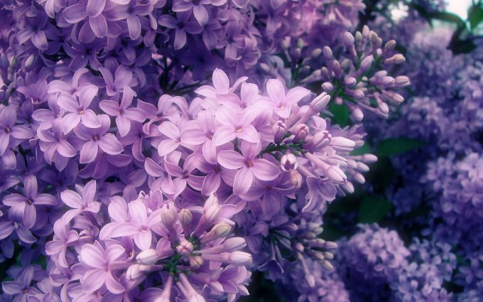 lilac flowers A3