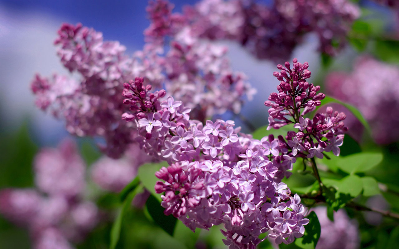lilac flowers A6