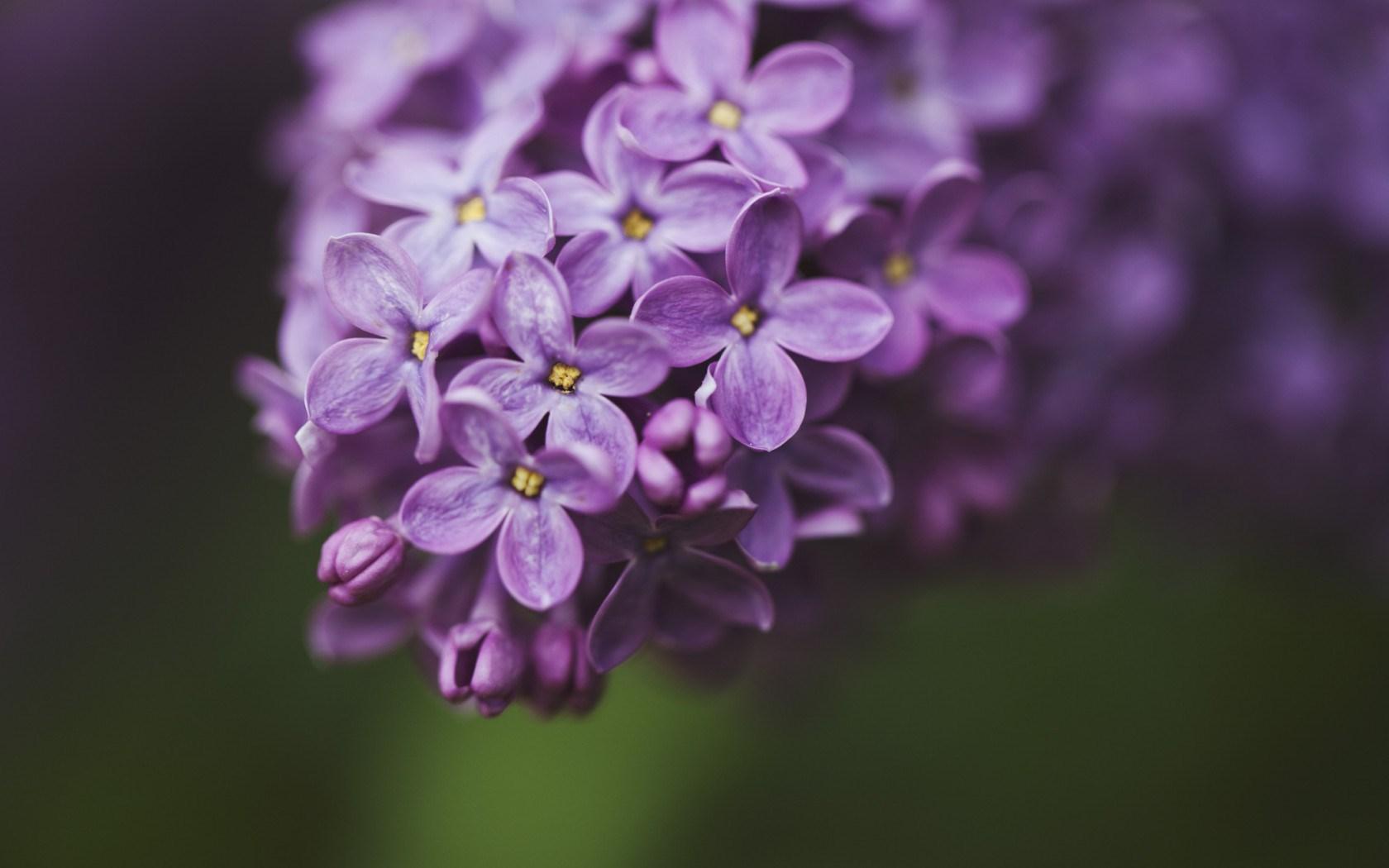 lilac flowers macro