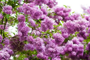 lilac wallpaper
