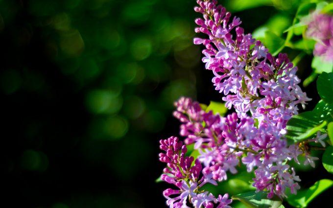 lilacs flower