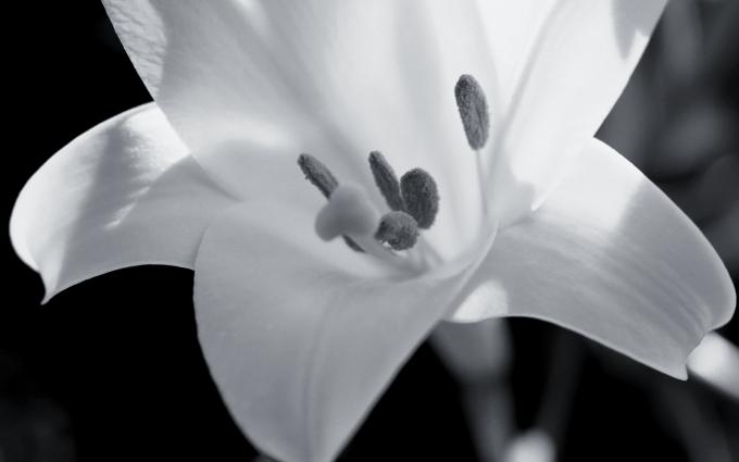 lily black white