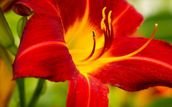 lily flower hd