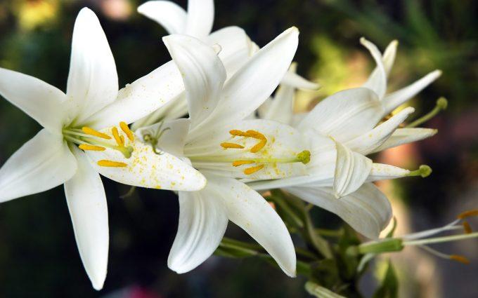 lily-flower-wallpaper