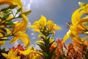 lily wallpaper 1080p