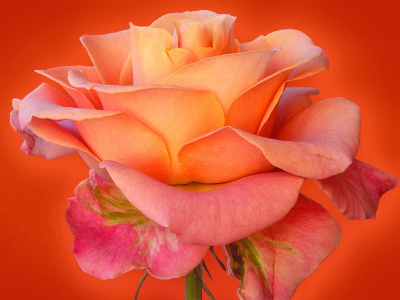 live rose wallpaper