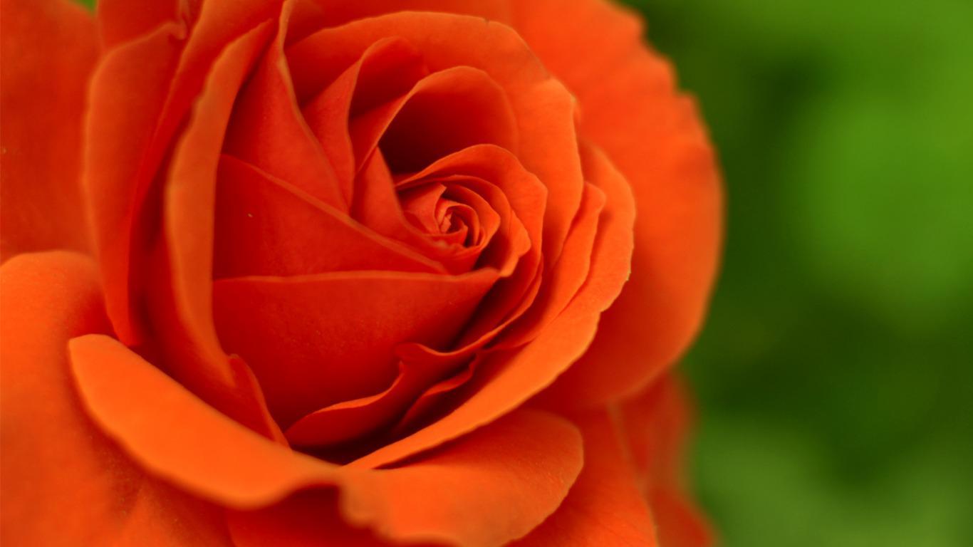 Live Wallpaper Rose Flower