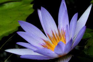 lotus flower images