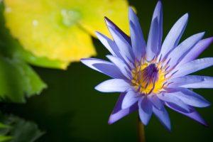 lotus flower photos