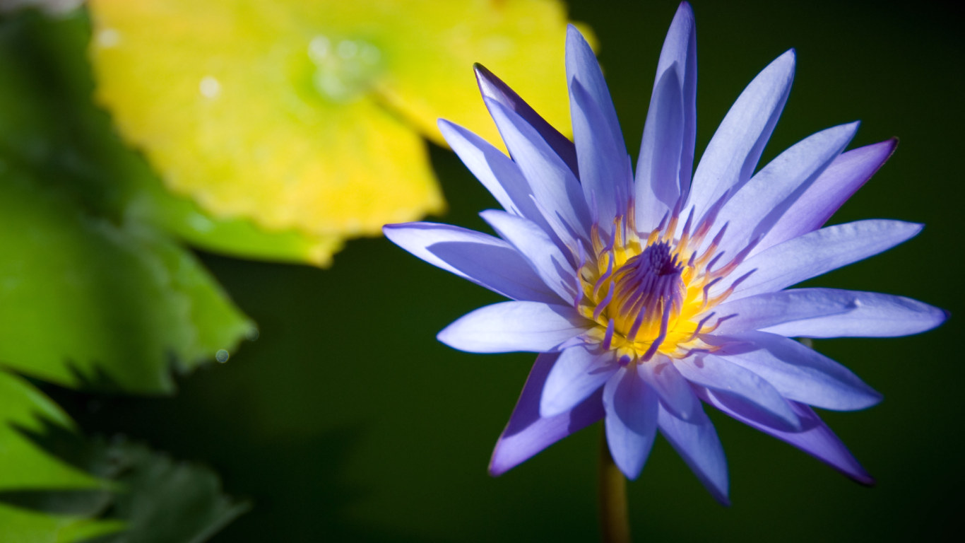 lotus flower photos