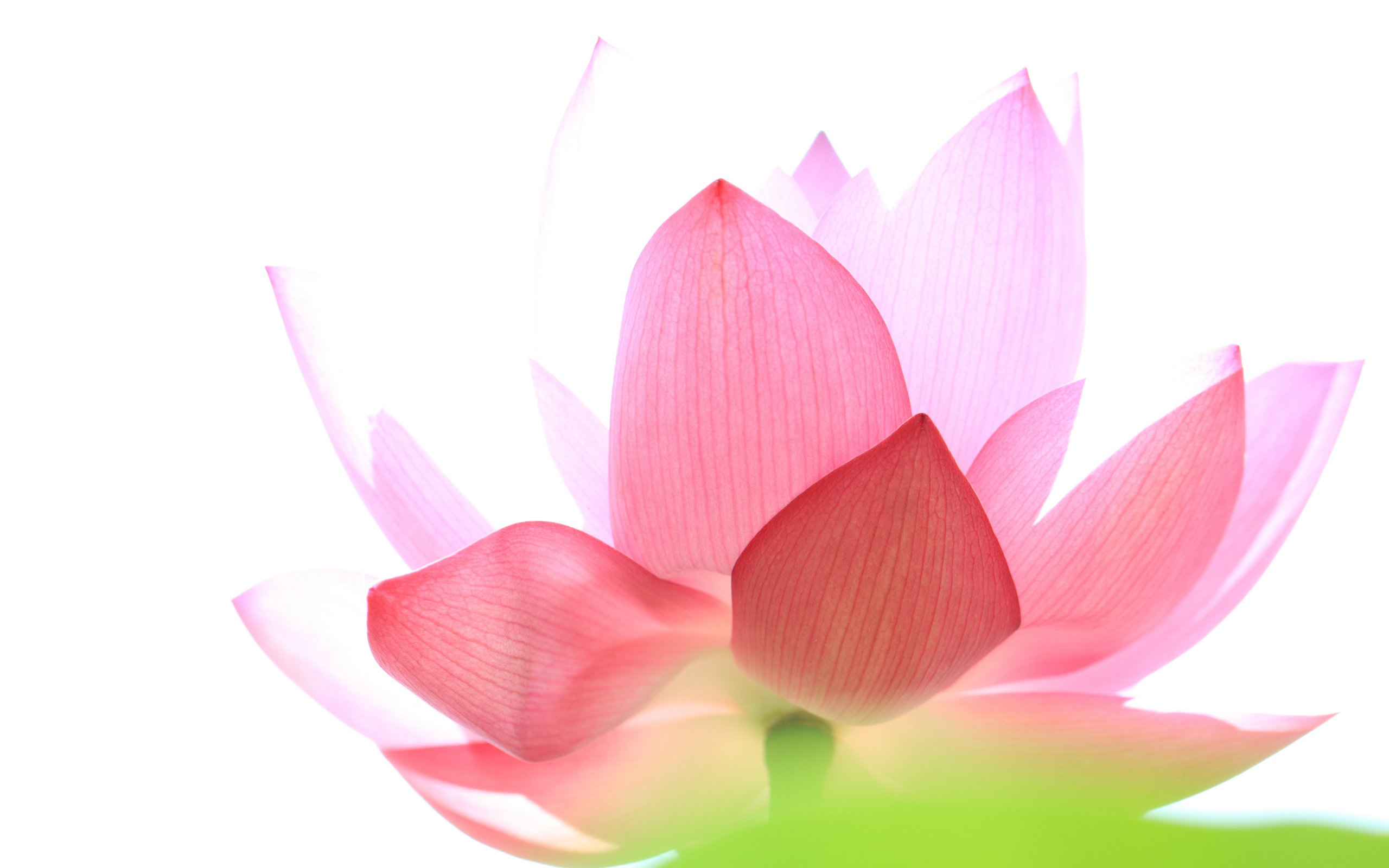 lotus flowers pictures