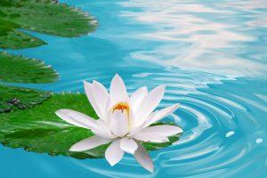 lotus images free