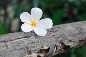 lovely flowers plumeria