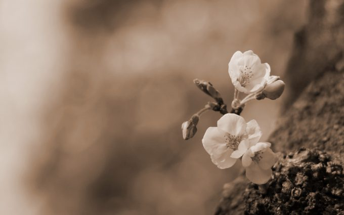 lovely flowers sepia