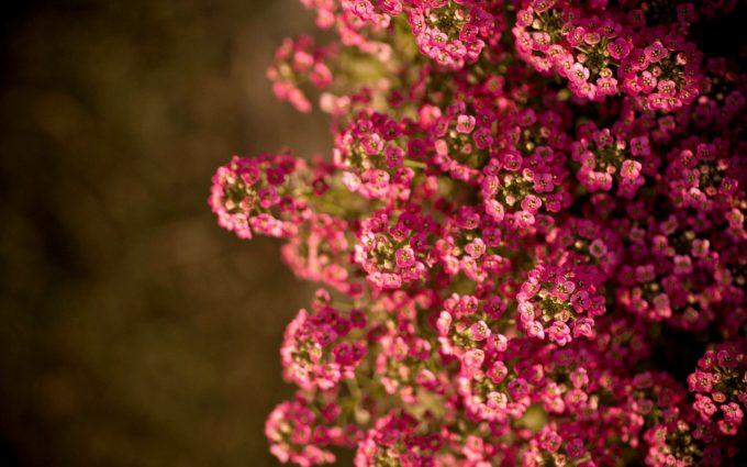 macro wallpaper pink A3