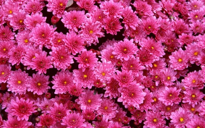 magenta flowers wallpaper