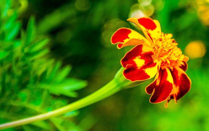 marigold flower images