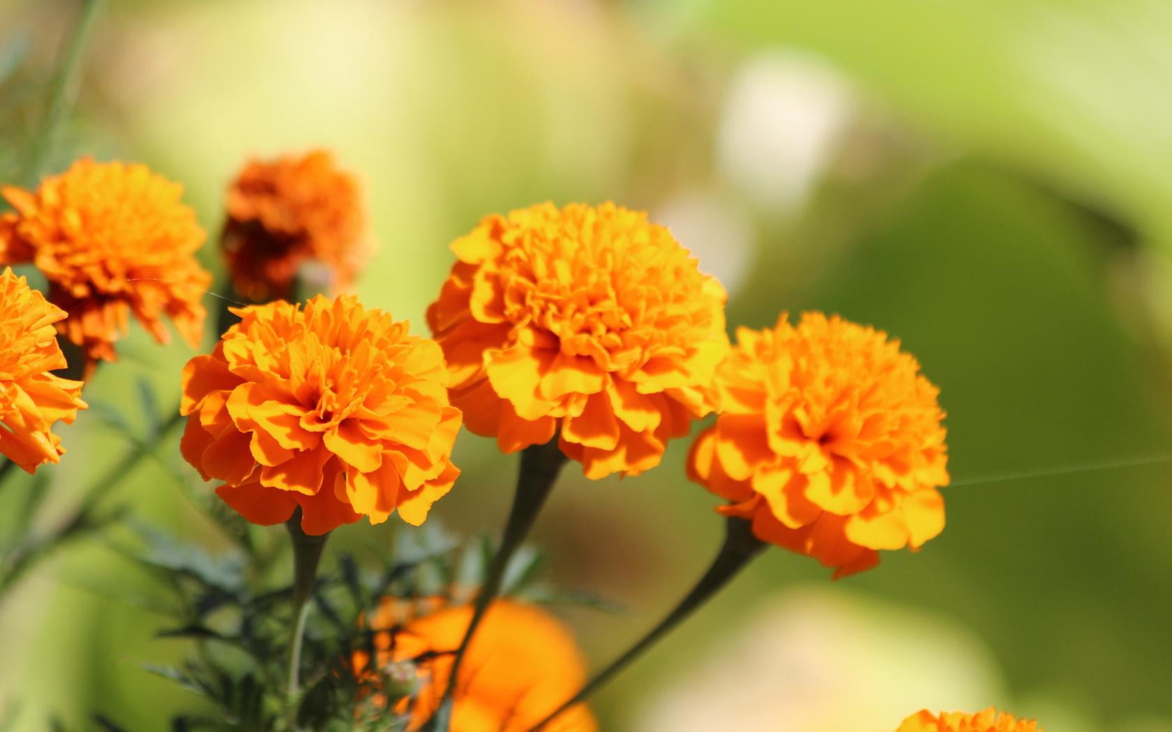 marigold flower pics