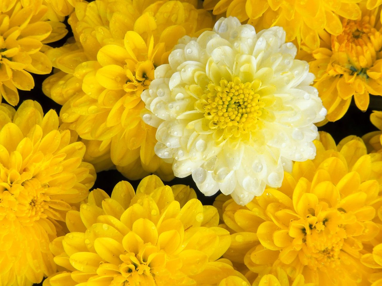 marigold flower picture