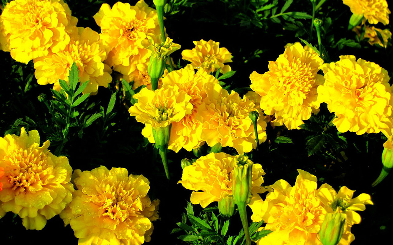 marigold flower pictures
