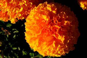 marigold flowers images