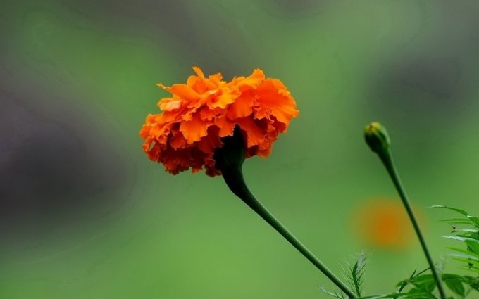 marigold images