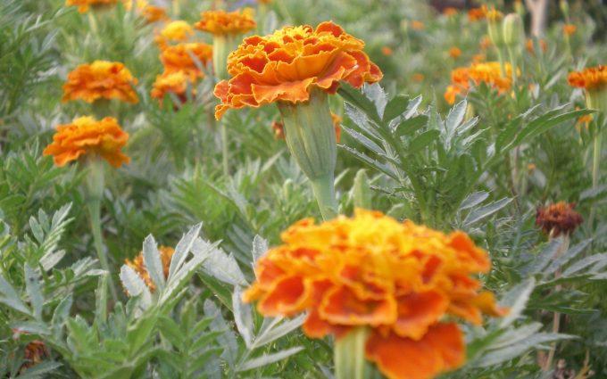 marigold images flower