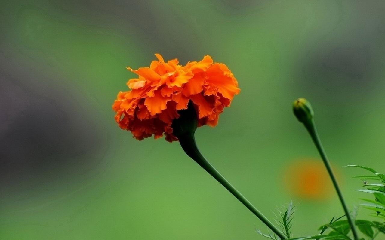 marigold images